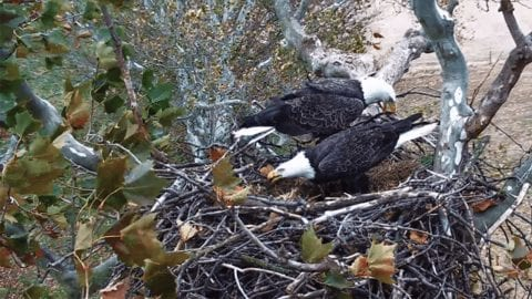 Two bald eagles in a nest.